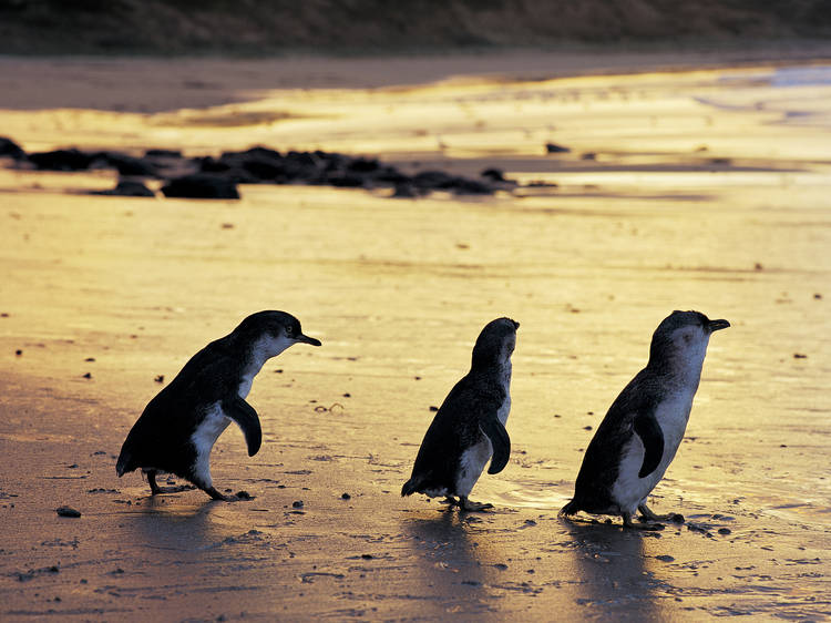 See the world-famous penguins at Phillip Island