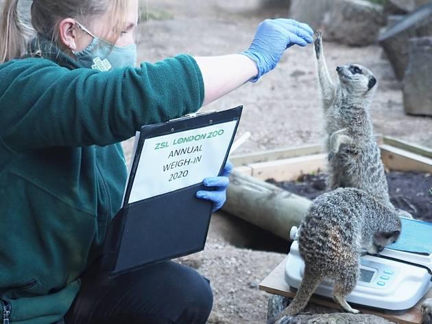 London zoo 2020 weigh-in: meerkat