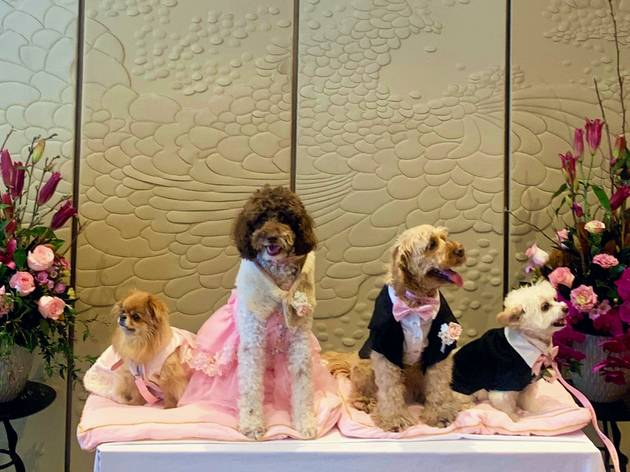 Dogs in wedding outfits on a table