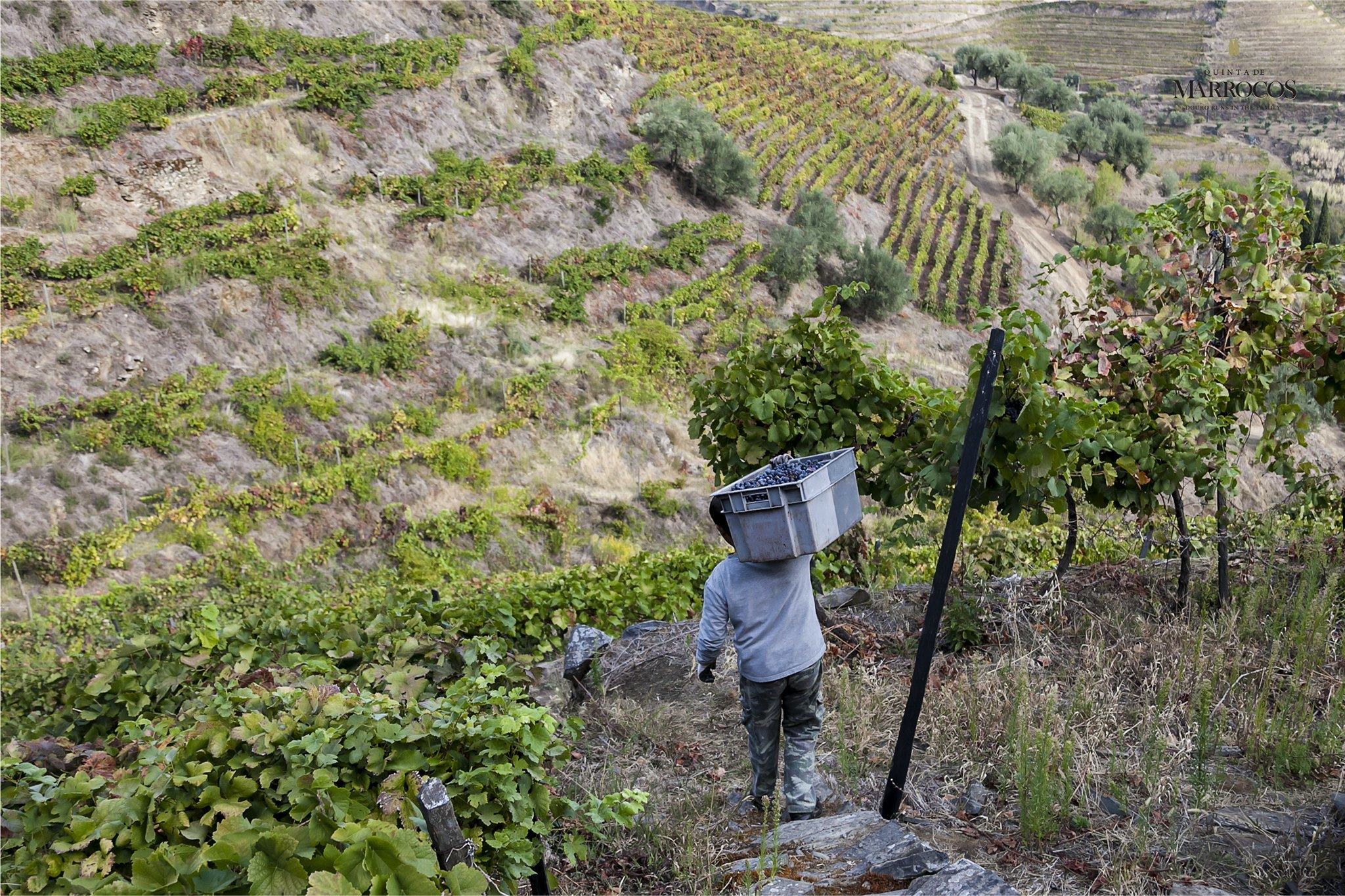 Vindimas na Quinta de Marrocos no Douro