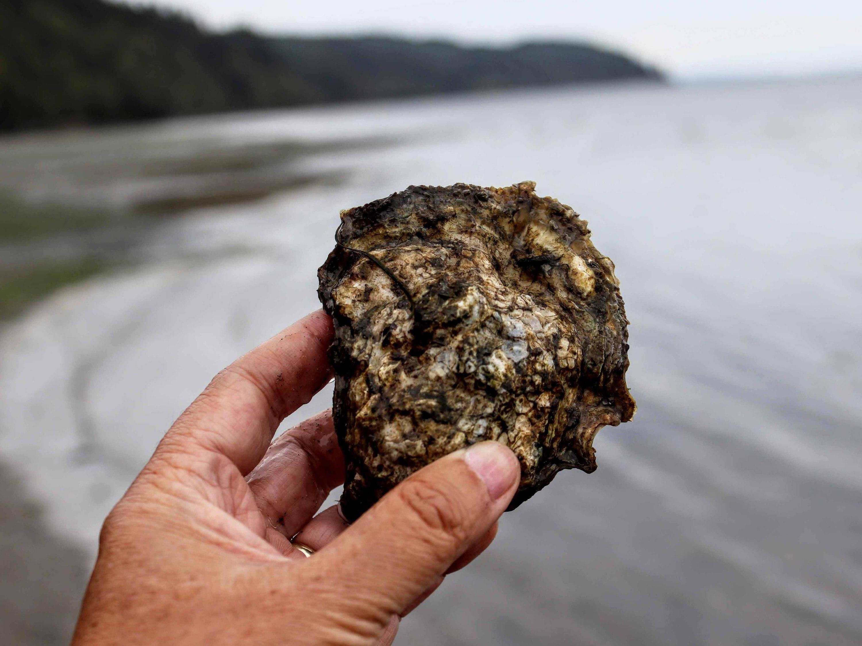 Washington oyster
