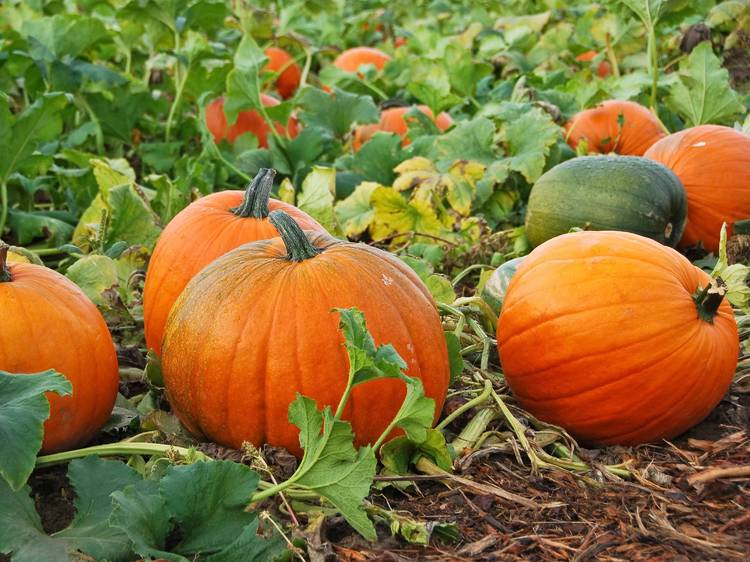 Pumpkin patches to visit this fall season