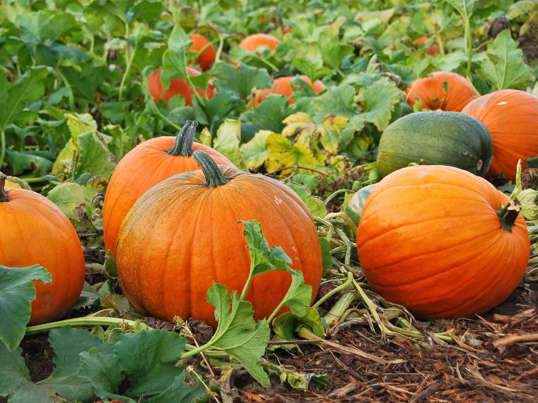 Pumpkin patches near Chicago