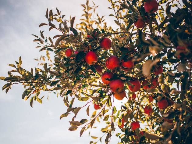 The best apple picking for Montreal in orchards near and far