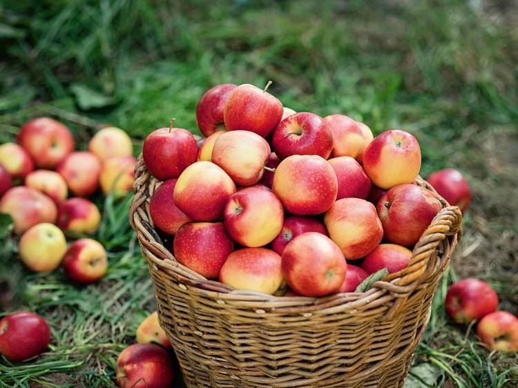 The best apple picking near NYC for kids and families
