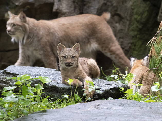 Lynx cubs at Queens Zoo