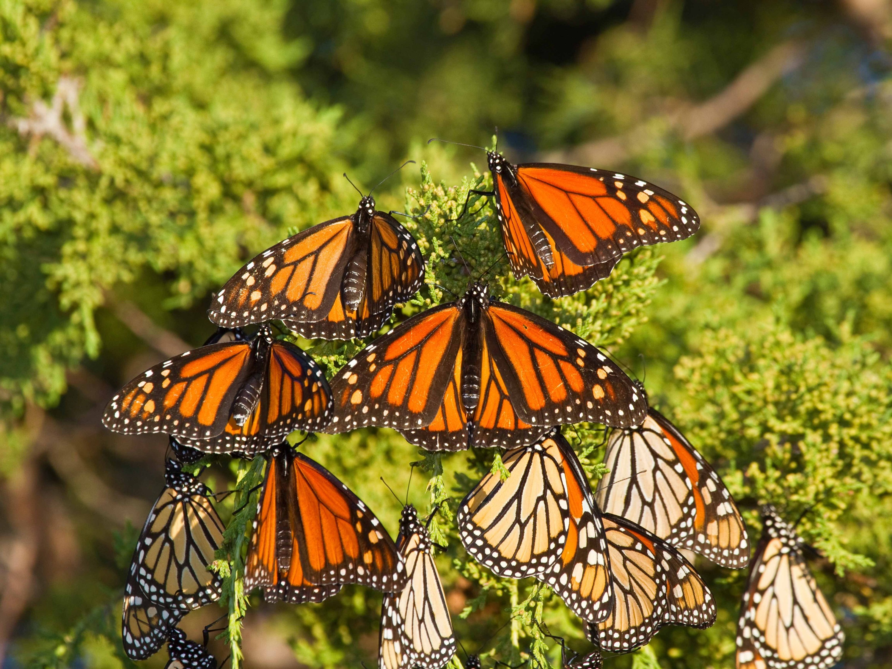 Hundreds of monarch butterflies are 'roosting' at Chicago's Museum Campus