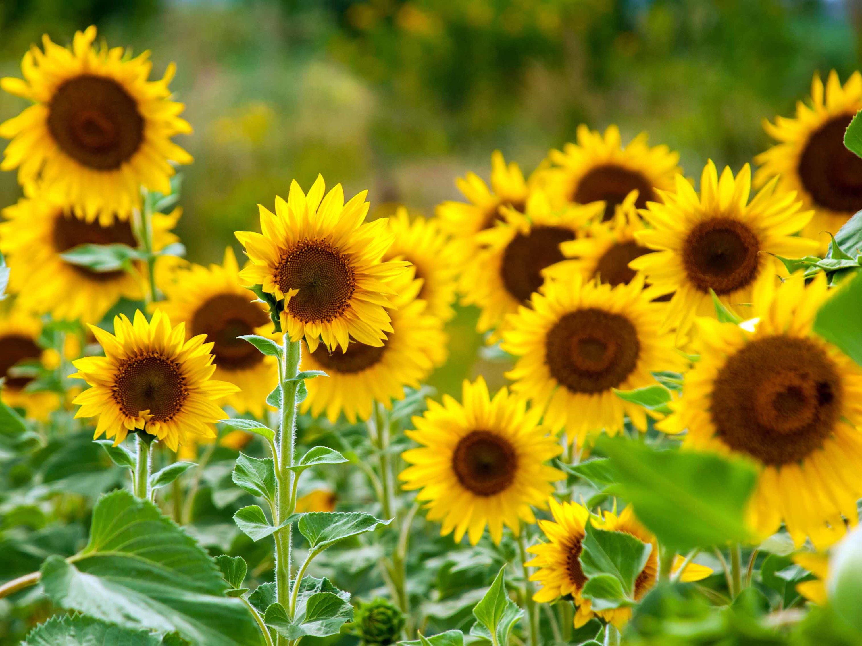 Sunflower picking