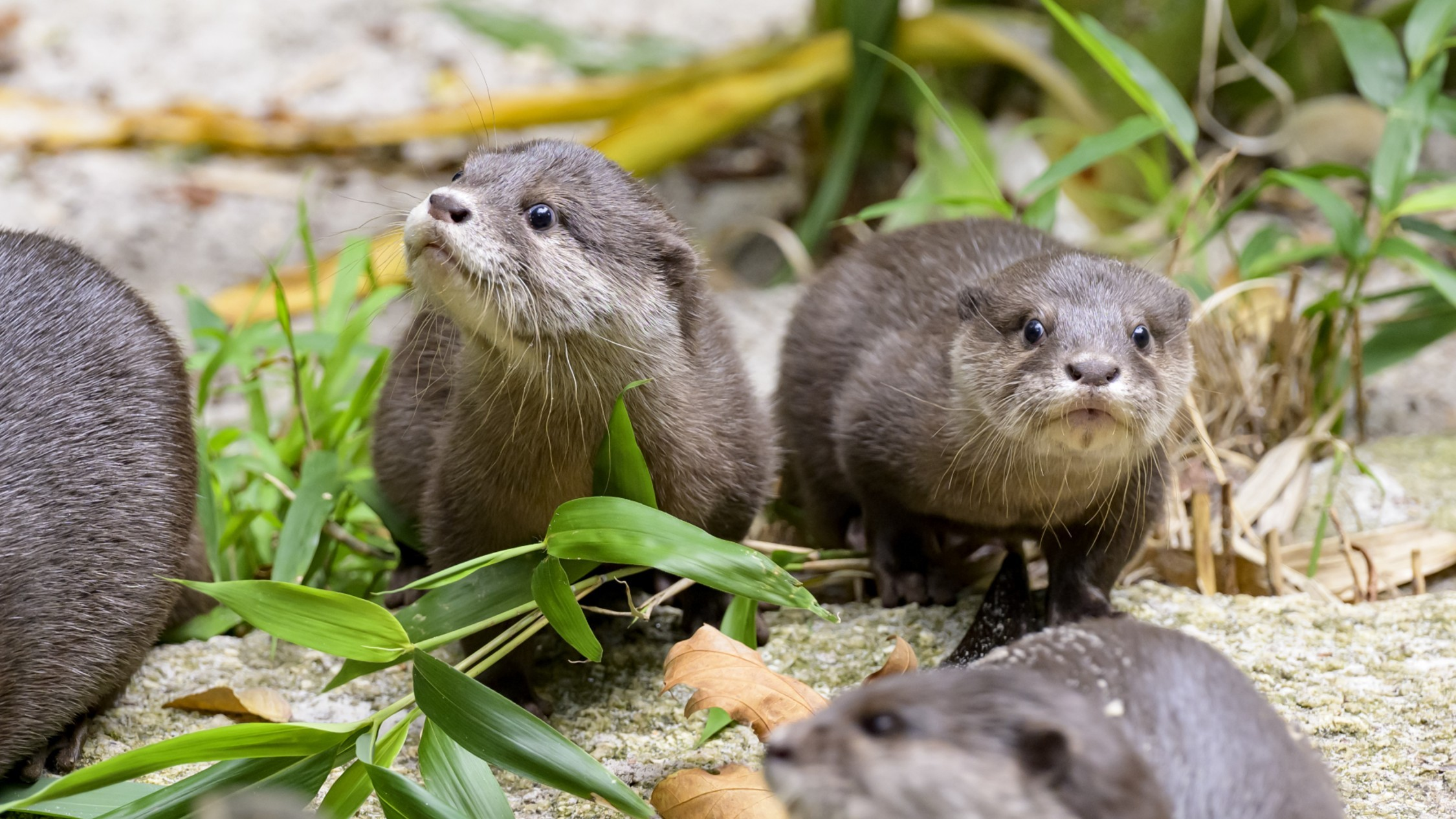 Melbourne Zoo now has a livestream of its baby otters, and there goes your productivity