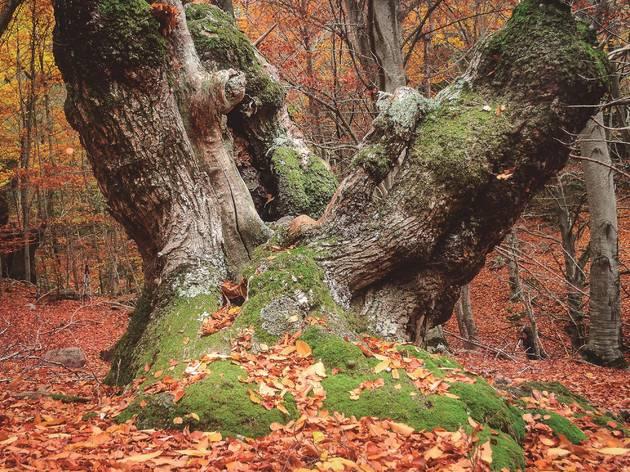 Bosc de Merli Viladrau, 7 boscos de Catalunya, tardor 2020