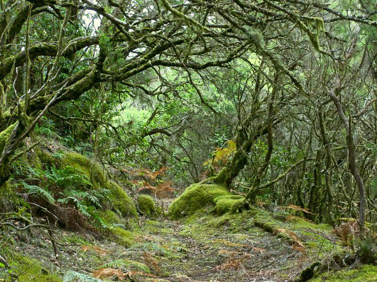 Parque Nacional Garajonay. La Gomera