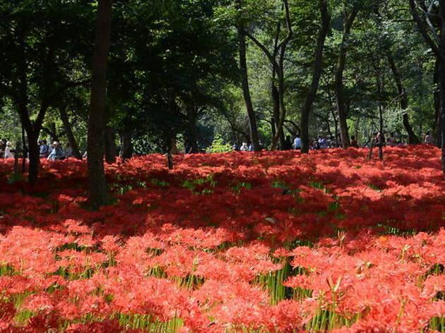 Photo: Kinchakuda Manjushage Park The red spider lilies at Kinchakuda Manjushage Park from a previous year