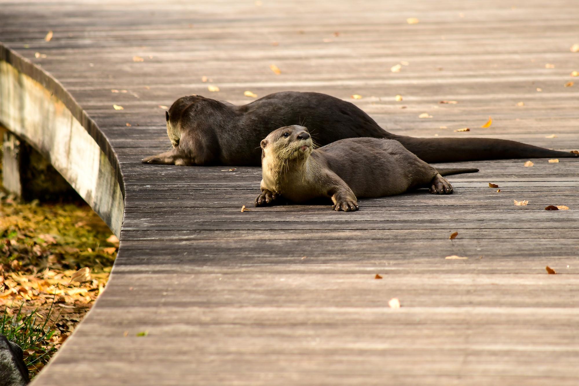 otters, singapore