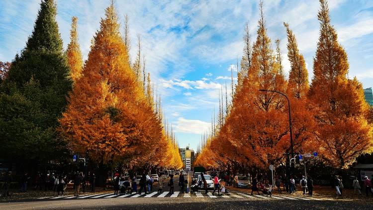 Meiji Jingu Gaien, autumn leaves, yellow ginkgo trees