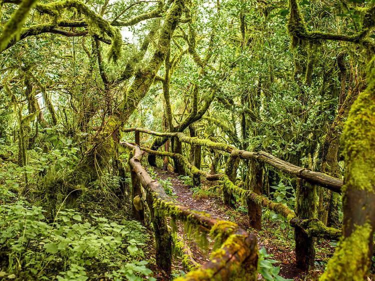 Parque Nacional Garajonay. La Gomera.