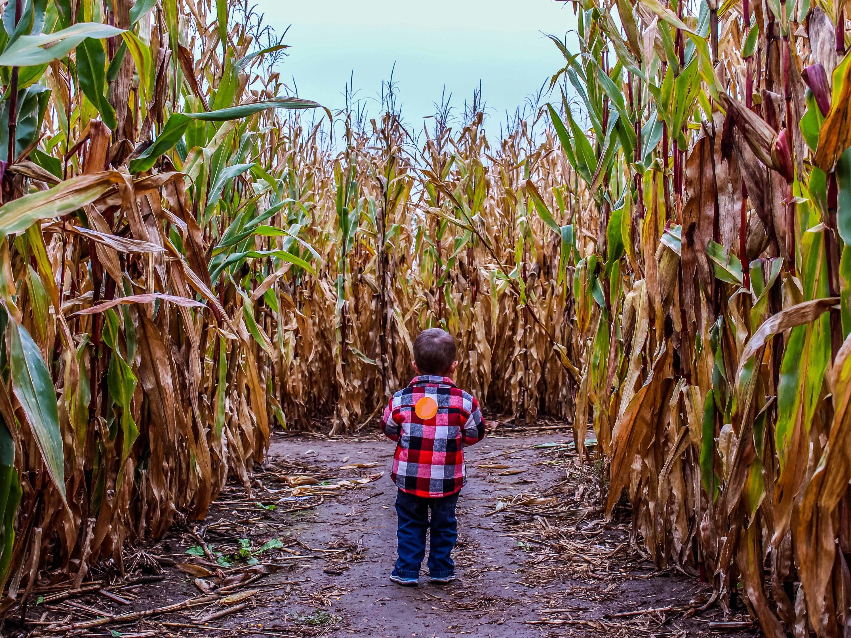 Wander through a cool corn maze