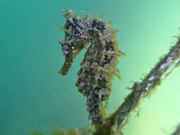 White's Seahorse attached to net
