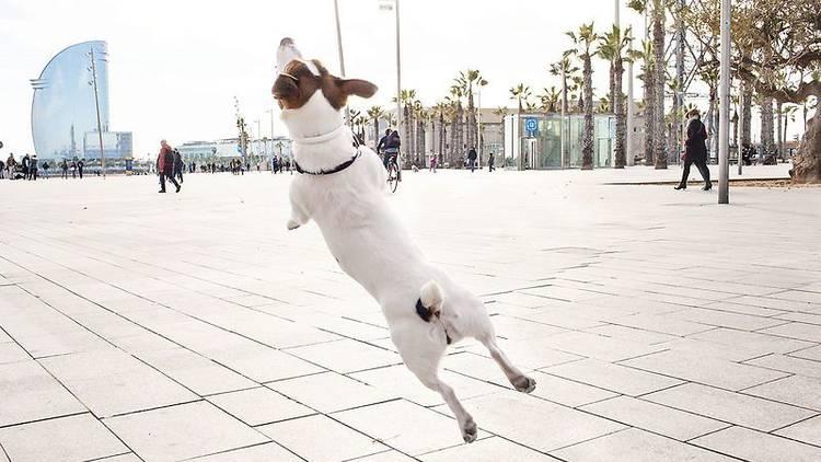 Gos jugant al passeig Marítim de Barcelona