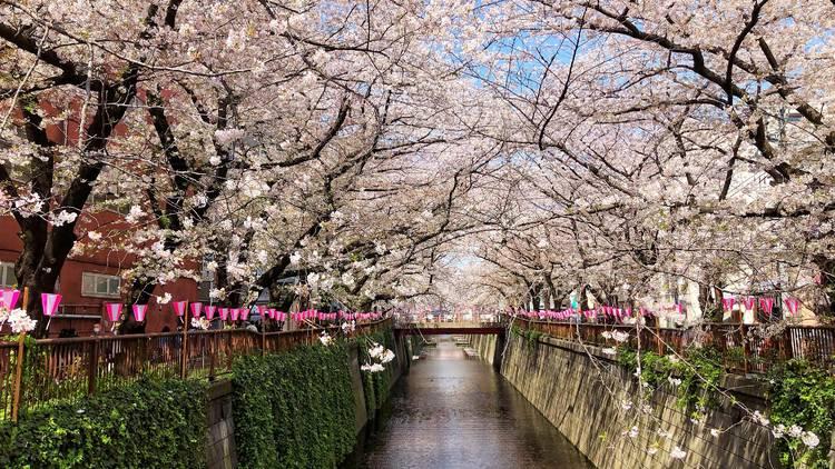 Cherry blossoms, sakura, Nakameguro