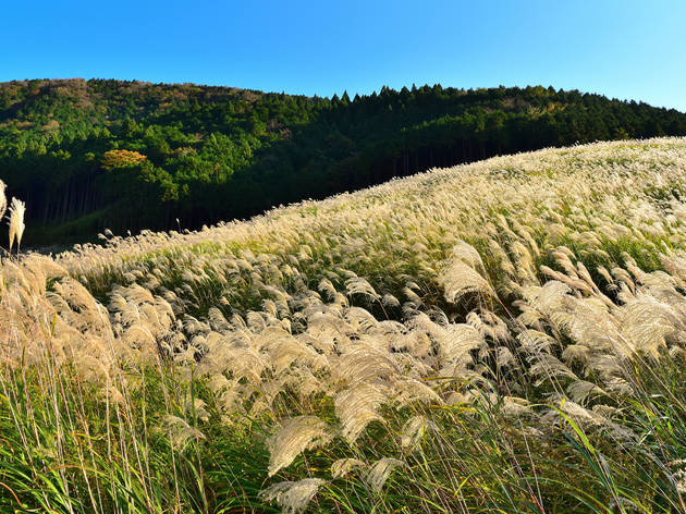 Catch these stunning pampas grass fields in Japan this autumn