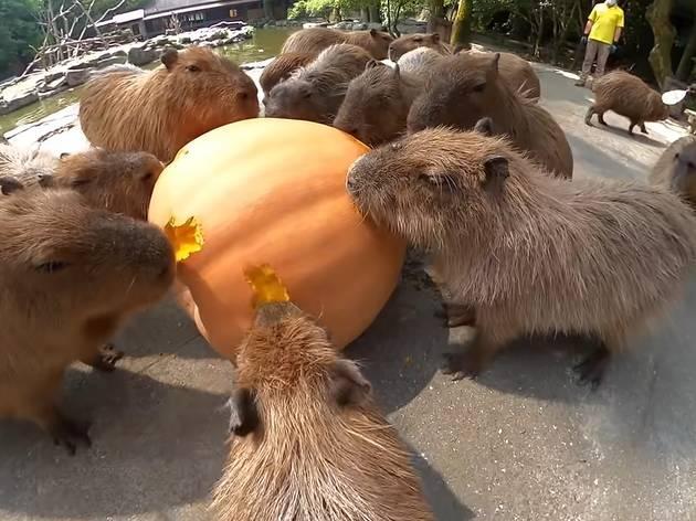 Watch this calming ASMR video of Nagasaki Biopark's capybaras eating a pumpkin