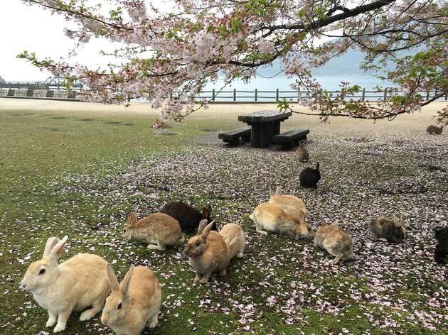 Okunoshima rabbit island