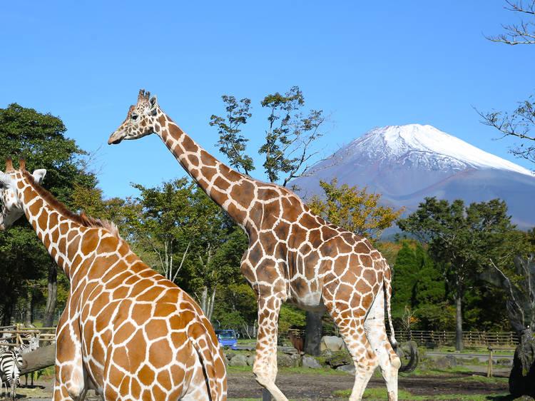 Wildlife at Fuji Safari Park, Shizuoka prefecture