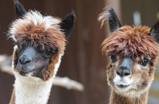 Alpacas - stock photo