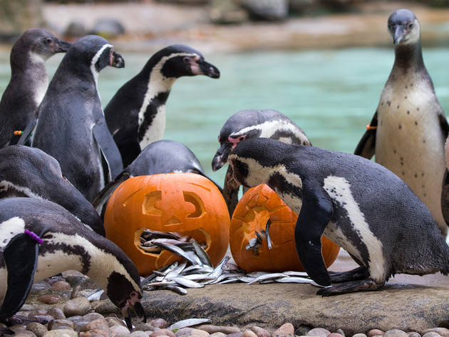 Penguins with Halloween pumpkin at London Zoo
