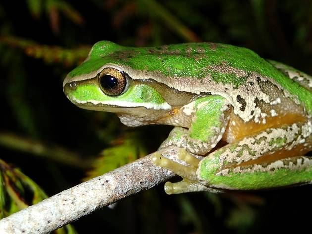 You can help to protect Australia's fragile frog population during FrogID Week