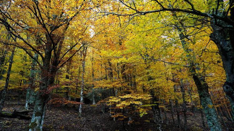 Hayedo de Montejo. Bosque singular de Madrid