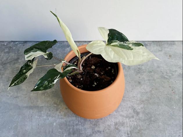 Plantophoria