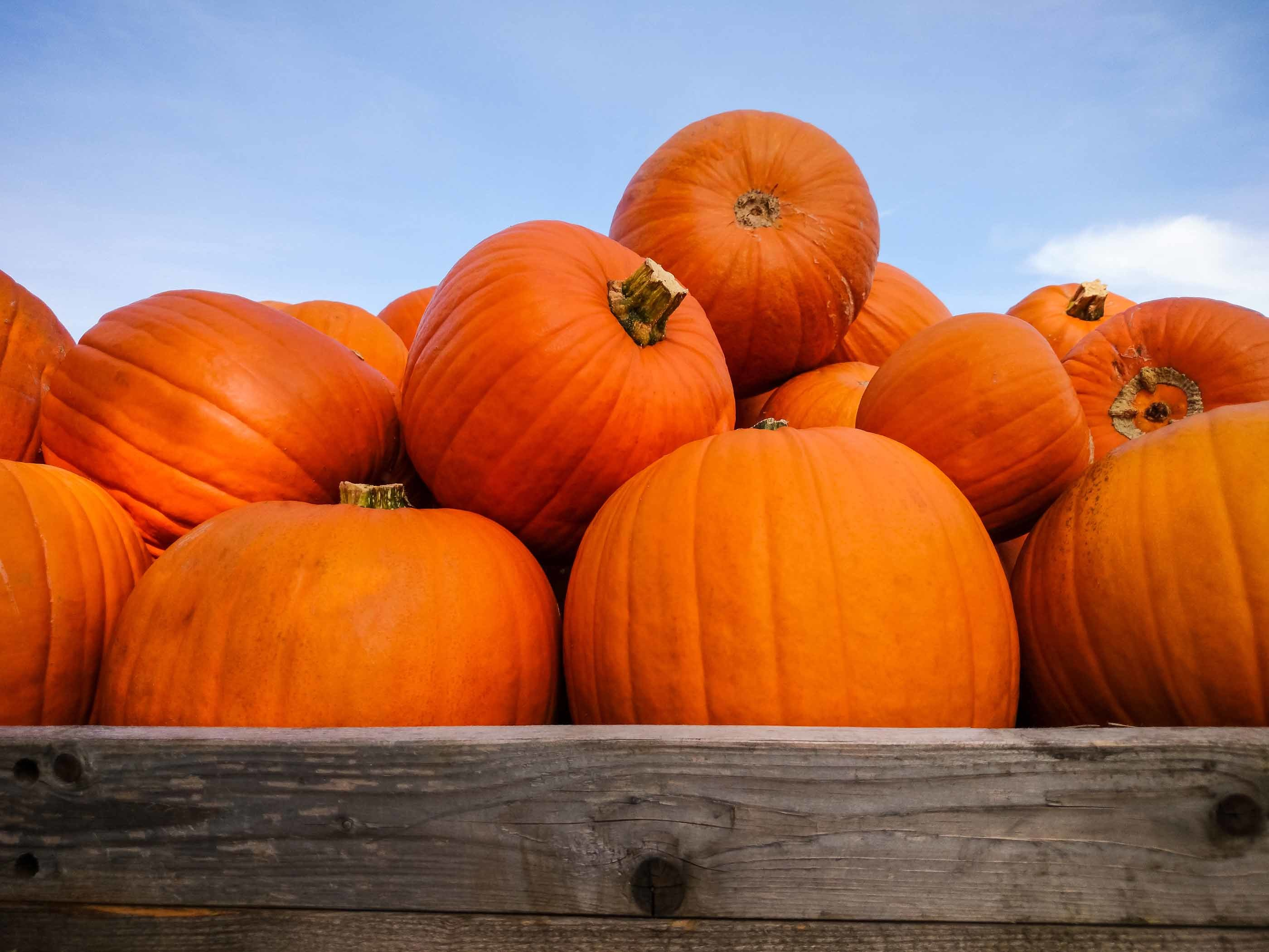 Pumpkin picking near NYC