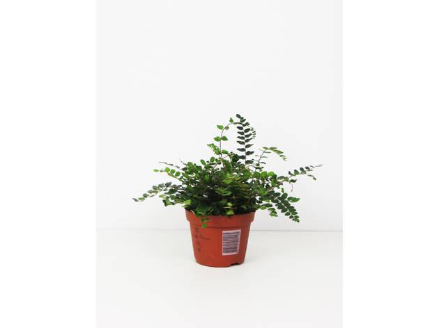 Planta da Pellaea Plantome