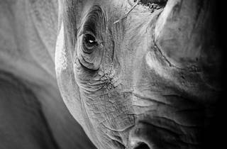 A black and white close up of a rhino