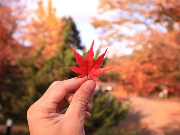 autumn leaves, Nikko