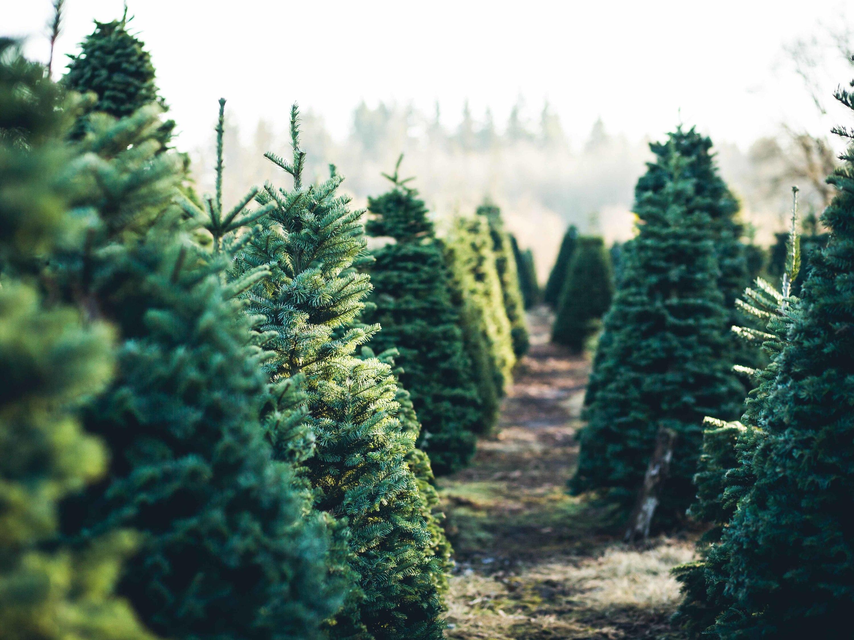 12 Festive Christmas Tree Farm Locations Near Nyc