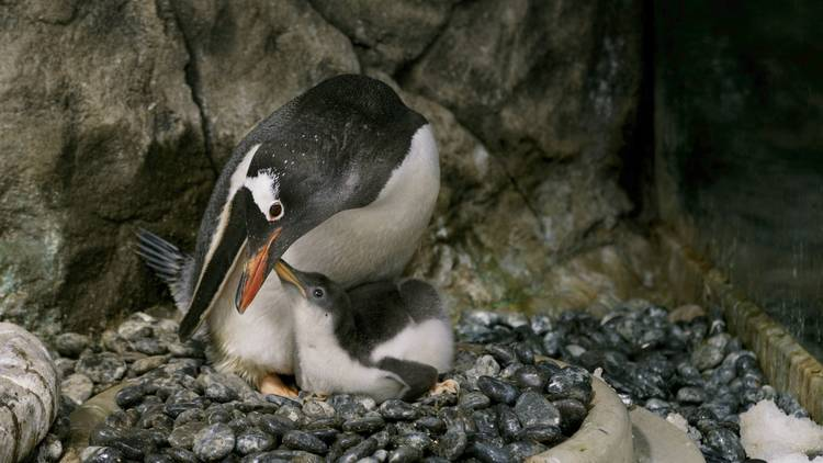 Penguin parent nests with chick.