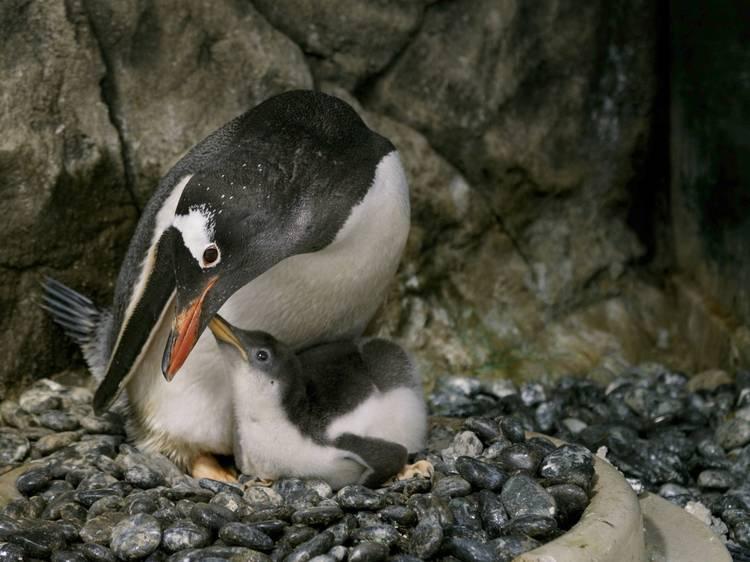 シドニーの同性ペンギンカップル、卵の孵化に成功