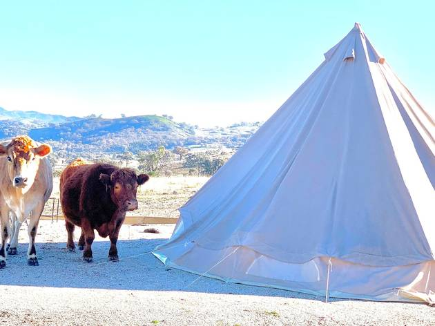 Cows wander near tents