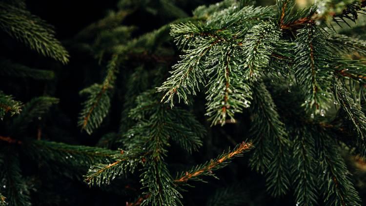 pinheiro natural