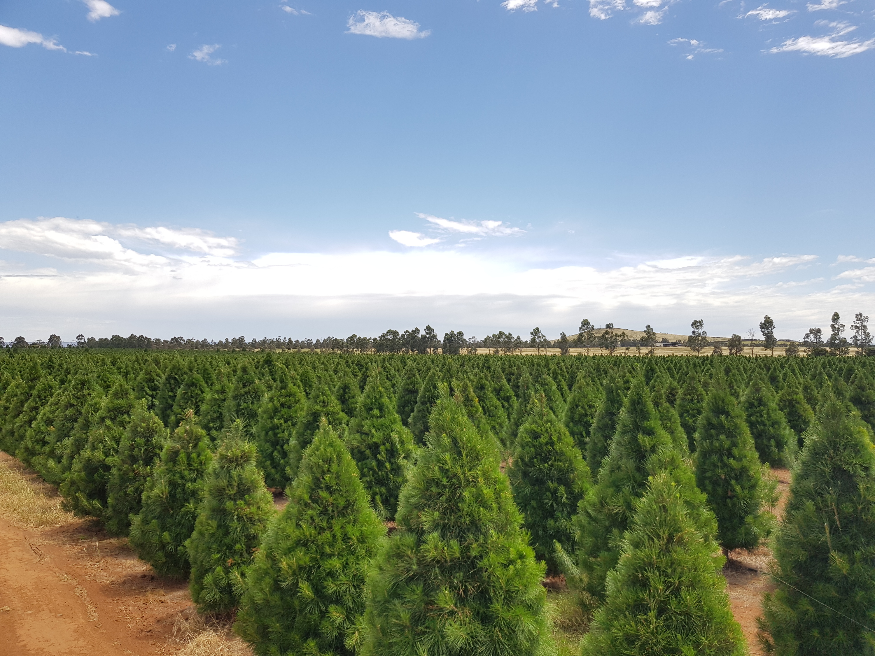 A field of small christmas trees