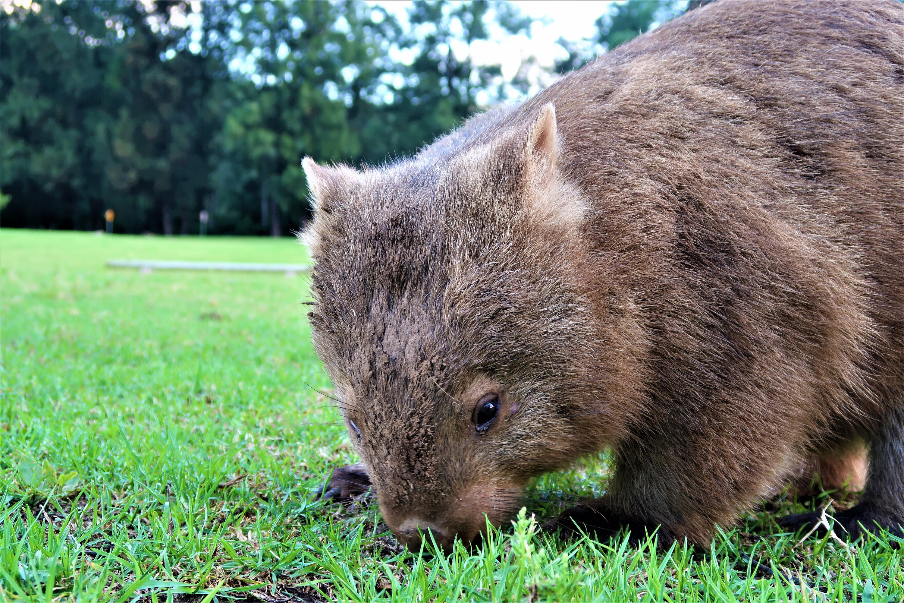 A close-up view of a wombat sniffing around in the grass