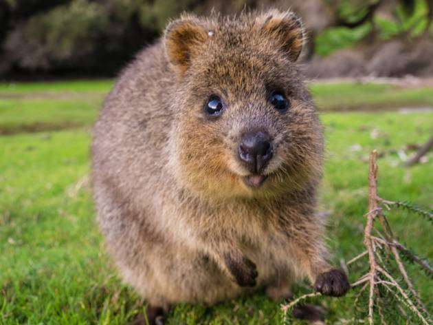 A happy quokka holding a branch