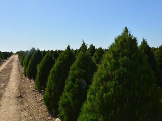 A field of pine trees under a clear blue sky