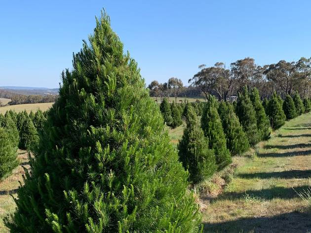Rows of pine trees grow in field.