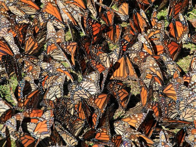 Mariposas monarca sobre corteza de un árbol