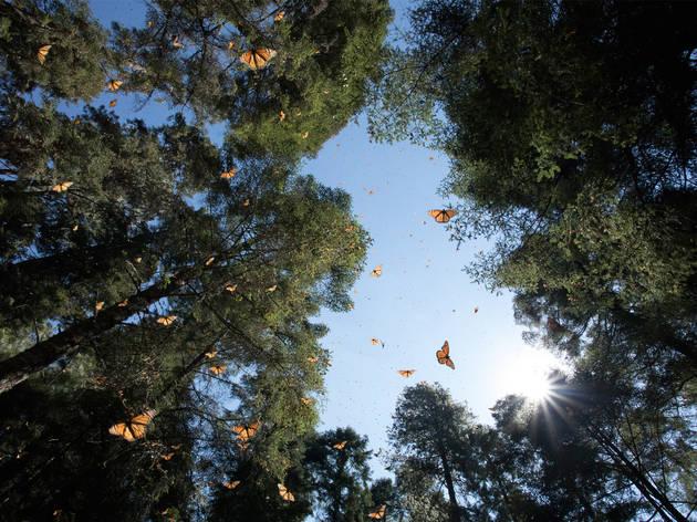Bosque con mariposas monarca volando
