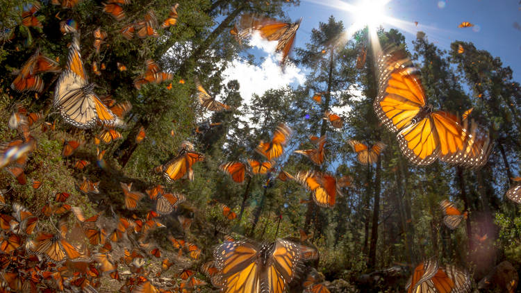 Mariposas monarca en el bosque de México