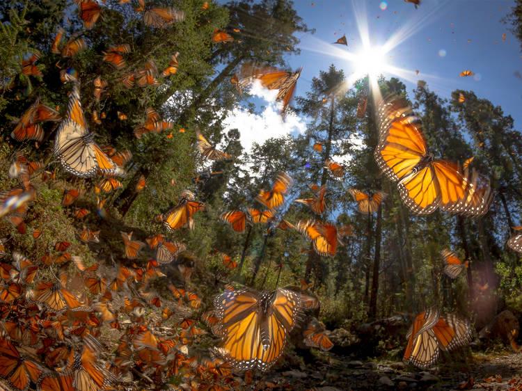 Santuarios mariposa monarca, Estado de México y Michoacán